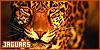 Mammals: Felines: Jaguars: