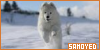 Mammals: Canines: Dogs: Samoyed: